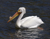 Pelican on Yellowstone River Royalty Free Stock Photos