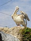 Pelican at the zoo Stock Photo