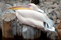 Pelican At The Zoo Royalty Free Stock Images