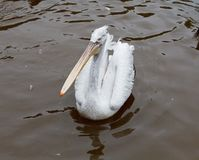 Pelican At The Zoo Royalty Free Stock Photo