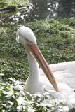 Pelican at the zoo Stock Images