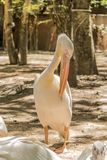 Pelican in zoo, Bangkok Thailand. Waiting Pelican in safari world zoo Bangkok Thailand Stock Photo
