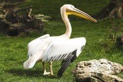 Pelican in zoo Stock Image