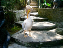 Pelican at the zoo. In Crimea Royalty Free Stock Image