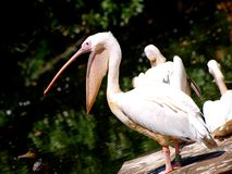 Pelican at zoo Stock Photo