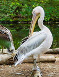 Pelican in a zoo preening its feathers Stock Photography