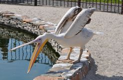 Pelican at the zoo by the water stock photography