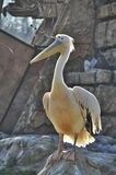 Pelican in zoo Stock Images