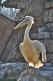 Pelican in zoo Stock Images