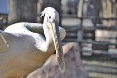Pelican in zoo Royalty Free Stock Photography