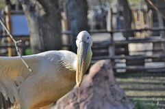 Pelican in zoo Royalty Free Stock Photo