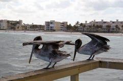 Pelicana δύο που στέκεται στην αποβάθρα επάνω από τον ωκεανό Στοκ Εικόνα