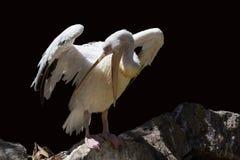Pelicanidae Stock Photo