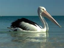 pelicano 0002 imagens de stock