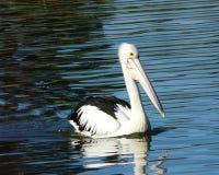 Pelicano - 001 Foto de Stock Royalty Free