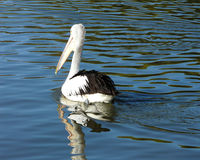Pelicano - 002 Fotos de Stock Royalty Free