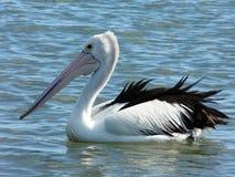 Pelicano - 003 Foto de Stock