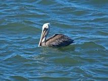 Pelicano Foto de Stock Royalty Free