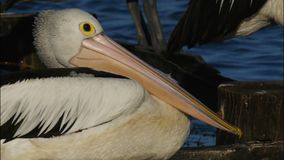 Pelicano vídeos de arquivo