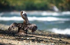 Pelicano Imagens de Stock