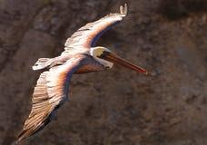 Pelicano 19 fotografia de stock royalty free