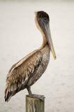 Pelicano Fotos de Stock