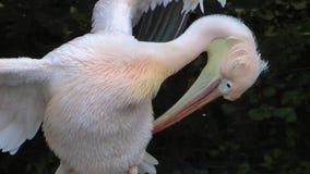 Pelicano video estoque