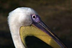 Pelicano Fotografia Royalty Free