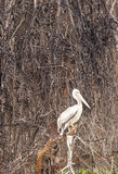 Pelicano Royaltyfri Foto