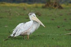 Pelicano Foto de Stock