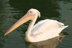 Pelicano. Fotos de Stock