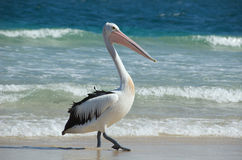 Pelicano australiano Imagens de Stock
