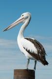 Pelicano australiano Foto de Stock Royalty Free