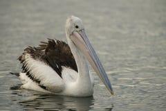 Pelicano australiano imagem de stock