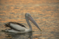 Pelicano australiano Imagens de Stock Royalty Free