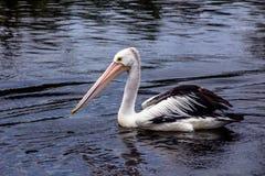 Pelicano australiano fotografia de stock royalty free