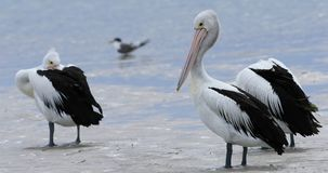 Pelicano australiano, conspicillatus do Pelecanus, grupo na praia 4K filme