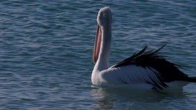 Pelicano australiano em um passeio da praia filme