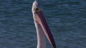 Pelicano australiano em um passeio da praia vídeos de arquivo