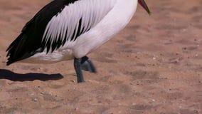 Pelicano australiano em uma praia vídeos de arquivo