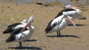 Pelicano australiano na ilha do canguru, Austrália video estoque