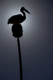 Pelicano australiano na silhueta Imagens de Stock