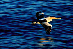 Pelicano australiano que voa sobre a água na luz do por do sol Imagens de Stock Royalty Free