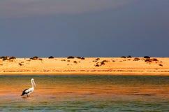Pelicano australiano toda apenas Imagens de Stock