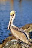 Pelicano bonito Imagens de Stock