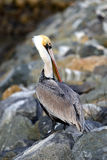 Pelicano bonito Imagem de Stock Royalty Free