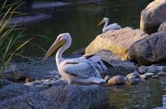 Pelicano bonito em lyon Imagens de Stock
