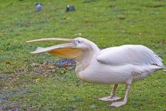 Pelicano branco imagens de stock