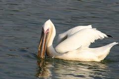 Pelicano branco Fotos de Stock