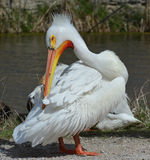 Pelicano branco Imagem de Stock Royalty Free